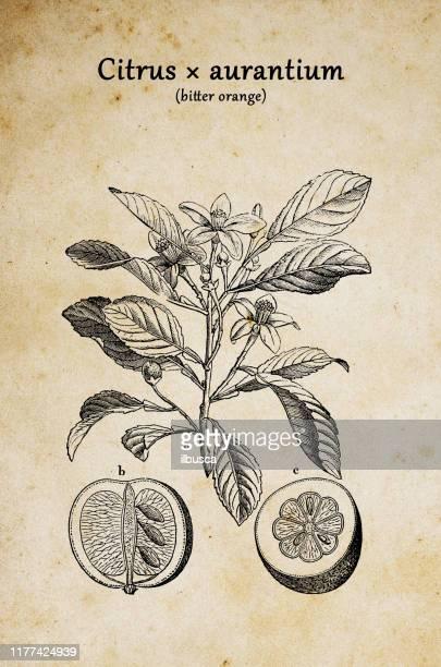 ilustrações de stock, clip art, desenhos animados e ícones de botany plants antique engraving illustration: citrus aurantium (bitter orange, seville orange, sour orange, bigarade orange) - laranjeira