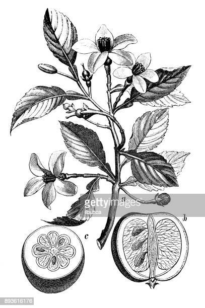 botany plants antique engraving illustration: citrus aurantium (bitter orange, seville orange, sour orange, bigarade orange, marmalade orange) - seville stock illustrations, clip art, cartoons, & icons