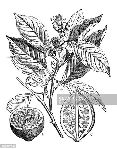 Botany plants antique engraving illustration: Citrus limon (lemon)