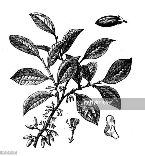 botany plants antique engraving illustration: coca - cocaine stock illustrations, clip art, cartoons, & icons