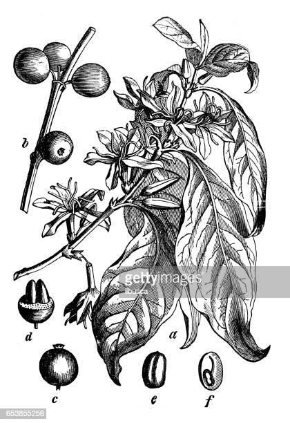 Botany plants antique engraving illustration: Coffea arabica (coffee plant)