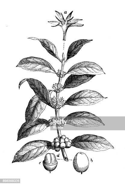 Botany plants antique engraving illustration: Coffea arabica (Arabian coffee)