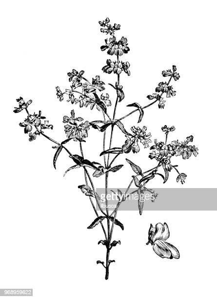botany plants antique engraving illustration: collinsia heterophylla, collinsia bicolor, purple chinese houses, innocence - innocence stock illustrations
