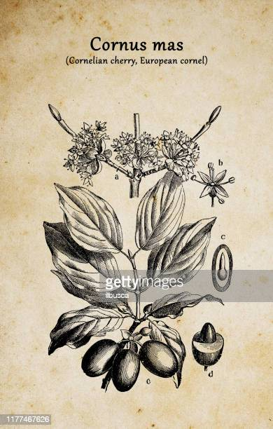 botany plants antique engraving illustration: cornus mas (cornelian cherry, european cornel or cornelian cherry dogwood) - arrowwood stock illustrations, clip art, cartoons, & icons