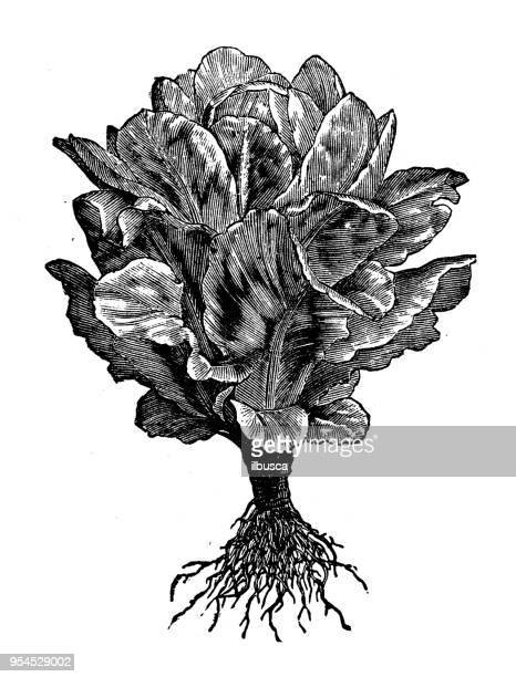 Botany plants antique engraving illustration: Cos Lettuce