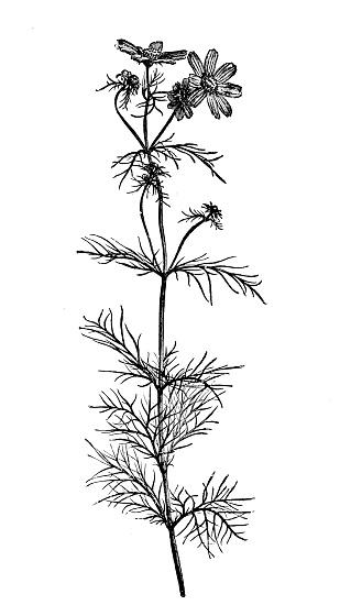 Botany plants antique engraving illustration: Cosmos bipinnatus, garden cosmos, Mexican aster - gettyimageskorea