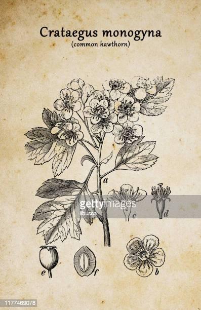 ilustrações, clipart, desenhos animados e ícones de a botânica planta a gravura antiga ilustração: crataegus monogyna (hawthorn comum) - pilritreiro