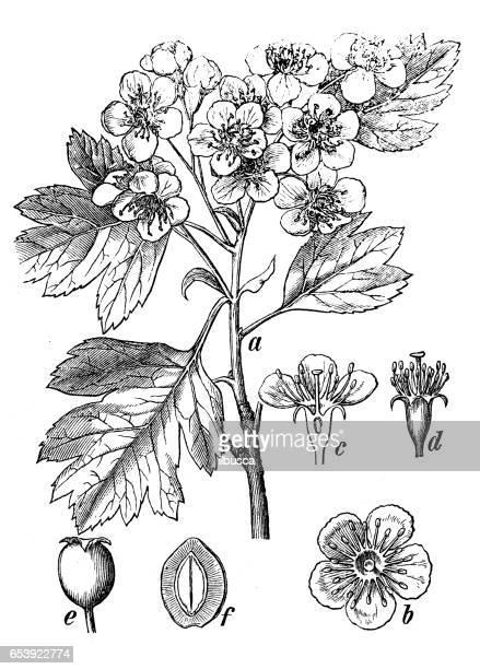 botany plants antique engraving illustration: crataegus monogyna (common hawthorn) - hawthorn,_victoria stock illustrations