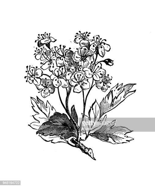 ilustrações, clipart, desenhos animados e ícones de plantas de botânica antiga ilustração de gravura: crataegus monogyna (espinheiro) - pilritreiro