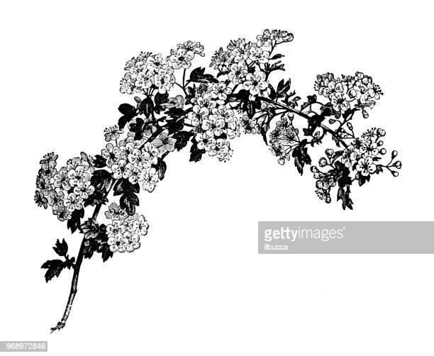 botany plants antique engraving illustration: crataegus monogyna, hawthorn - hawthorn,_victoria stock illustrations