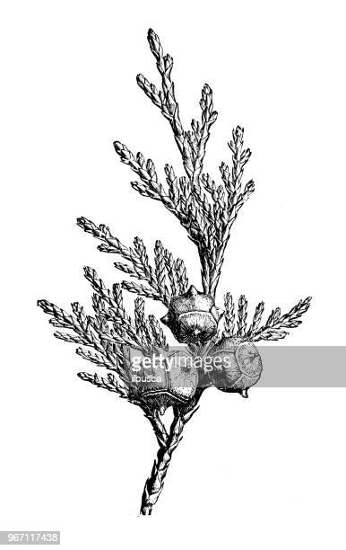 botany plants antique engraving illustration: cupressus nootkatensis, nootka cypress, yellow cypress, alaska cypress, nootka cedar, yellow cedar, alaska cedar - cypress tree stock illustrations