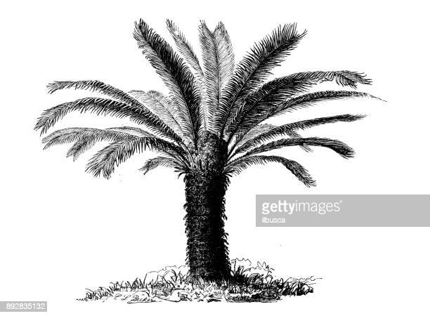 Botany plants antique engraving illustration: Cycas revoluta (Sotetsu, sago palm, king sago, sago cycad, Japanese sago palm)