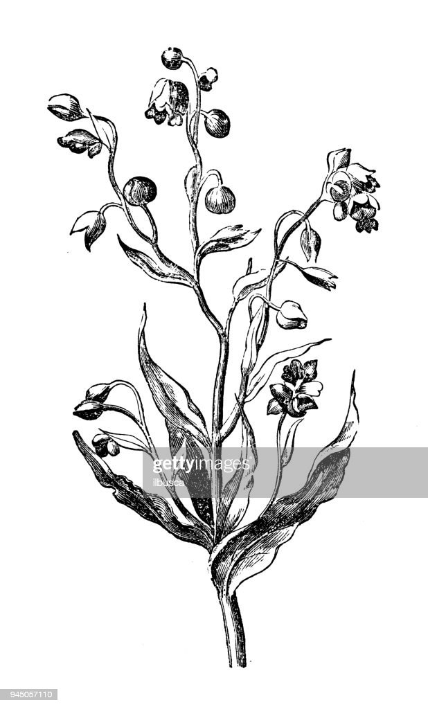 Botany plants antique engraving illustration: Cynoglossum officinale (houndstongue, houndstooth, dog's tongue) : Stock Illustration
