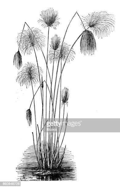 botanik pflanzen antik gravur abbildung: cyperus papyrus (papyrus segge, papier reed, indische matten pflanze, nil rasen) - papyrus stock-grafiken, -clipart, -cartoons und -symbole