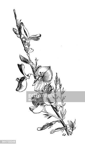 botany plants antique engraving illustration: cytisus scoparius (common broom) - broom stock illustrations, clip art, cartoons, & icons