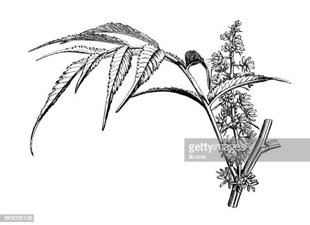 botany plants antique engraving illustration: datisca cannabina - marijuana herbal cannabis stock illustrations, clip art, cartoons, & icons