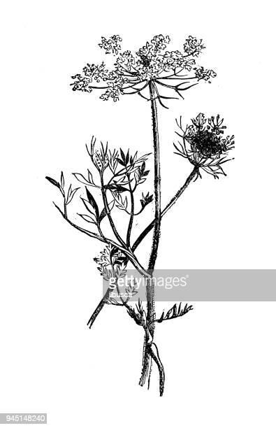 Queen Ann's lace Botanical Sketch clipart Hygge Art | Etsy
