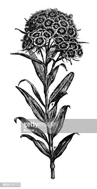 botany plants antique engraving illustration: dianthus barbatus (sweet william) - sweet william flower stock illustrations, clip art, cartoons, & icons