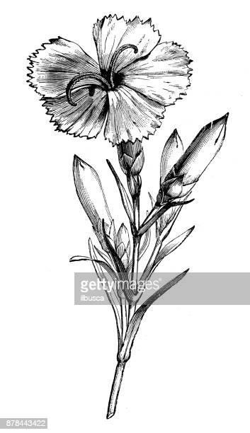 botany plants antique engraving illustration: dianthus caryophyllus (carnation or clove pink) - carnation flower stock illustrations, clip art, cartoons, & icons
