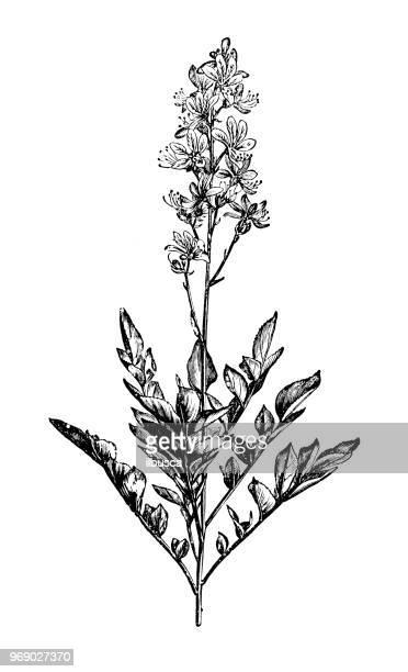 植物植物アンティーク彫刻イラスト: ハクセン アルバス - ミカン科点のイラスト素材/クリップアート素材/マンガ素材/アイコン素材