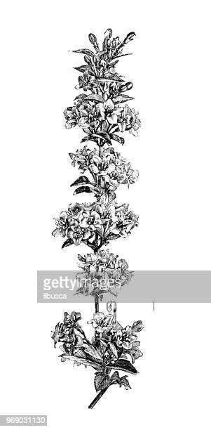 botany plants antique engraving illustration: diervilla rosea, bush honeysuckle - arrowwood stock illustrations, clip art, cartoons, & icons