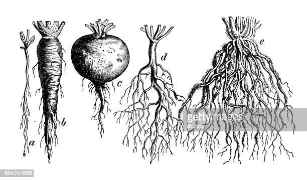botany plants antique engraving illustration: different types of root - root stock illustrations, clip art, cartoons, & icons