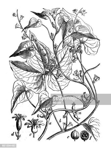 Plantes de botanique antique illustration de gravure: Dioscorea communis (black bryony, Dame-seal ou liseron noir)