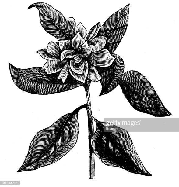 植物植物アンティーク彫刻イラスト: ダブル ケープ ジャスミン - ジャスミン点のイラスト素材/クリップアート素材/マンガ素材/アイコン素材
