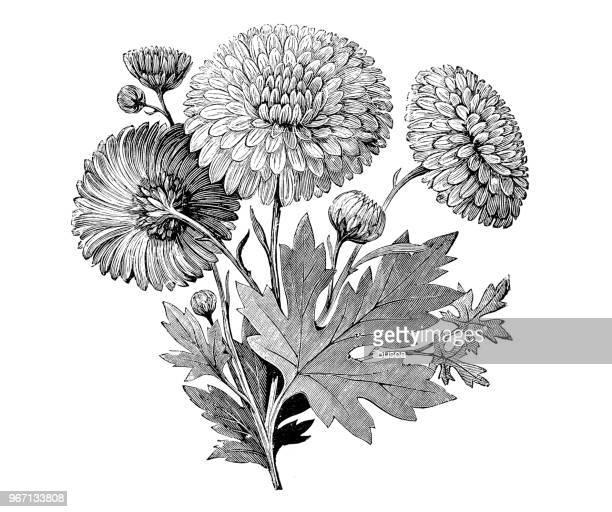 植物植物アンティーク彫刻イラスト: 早咲きの菊 - キク科点のイラスト素材/クリップアート素材/マンガ素材/アイコン素材