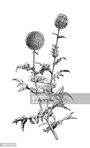 botany plants antique engraving illustration: echinops sphaerocephalus, glandular globe thistle - thistle stock illustrations