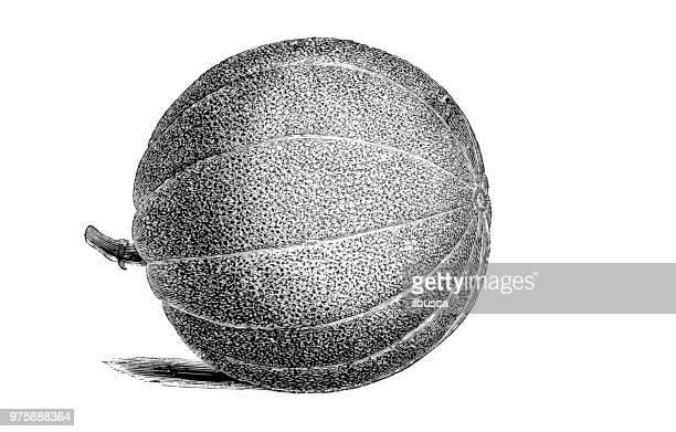 Botany plants antique engraving illustration: Embroidered Market Melon