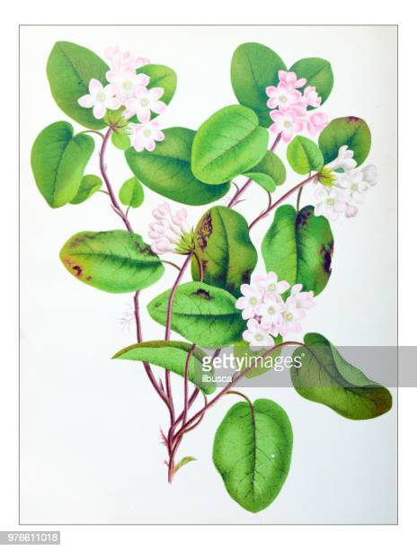 botany plants antique engraving illustration: epigaea repens, mayflower, trailing arbutus - hawthorn,_victoria stock illustrations