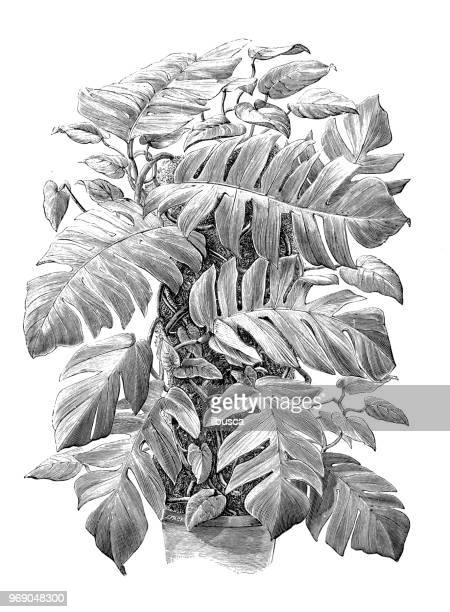 ilustrações de stock, clip art, desenhos animados e ícones de botany plants antique engraving illustration: epipremnum pinnatum, centipede tongavine, dragontail plant - centopeia