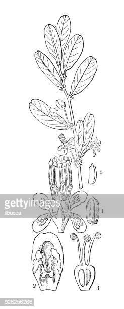 Botany plants antique engraving illustration: Erythroxylum coca