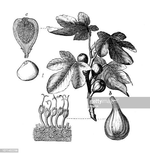 botany plants antique engraving illustration: ficus carica, fig tree - fig tree stock illustrations
