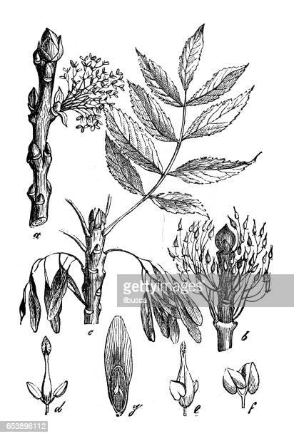 botany plants antique engraving illustration: fraxinus excelsior (ash) - ash stock illustrations, clip art, cartoons, & icons