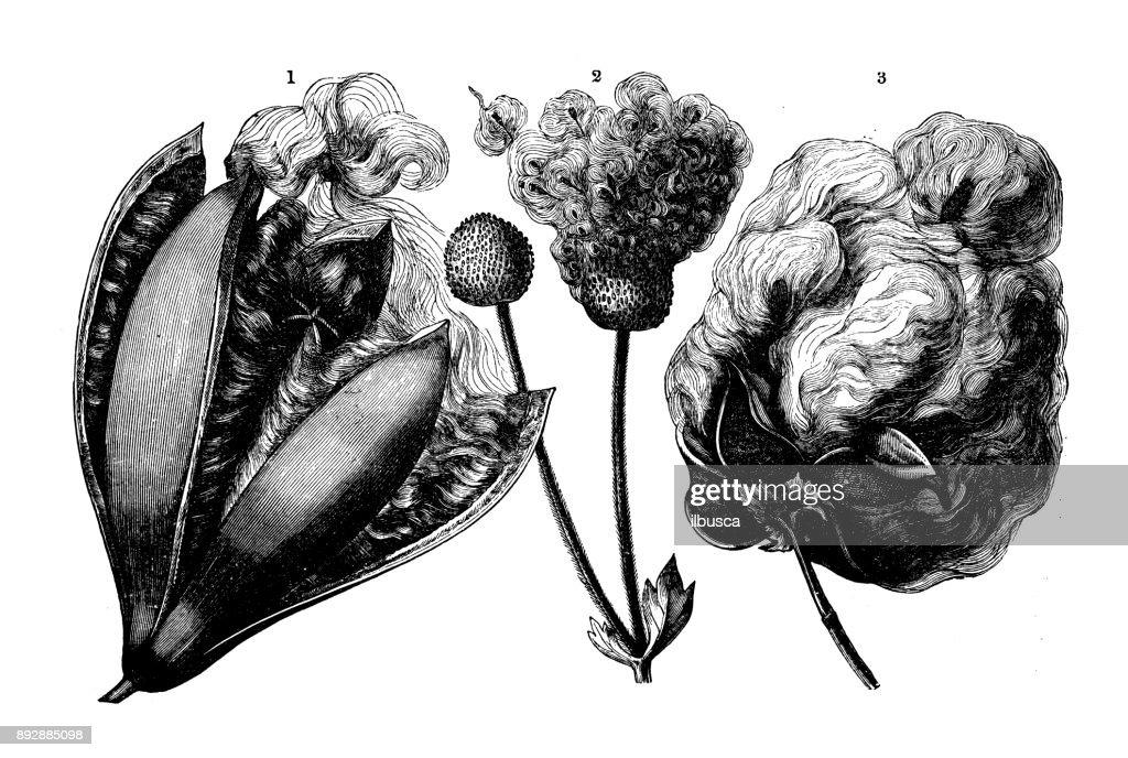 Botany Plants Antique Engraving Illustration Fruits Hair Of Bombax