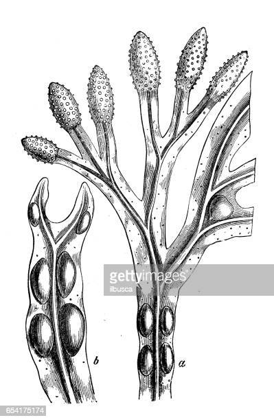 botany plants antique engraving illustration: fucus vesiculosus (bladder wrack, bladderwrack) - bladder stock illustrations, clip art, cartoons, & icons