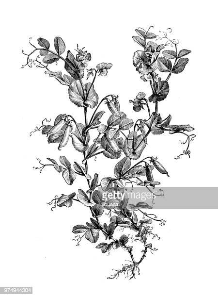botany plants antique engraving illustration: garden pea - green pea stock illustrations
