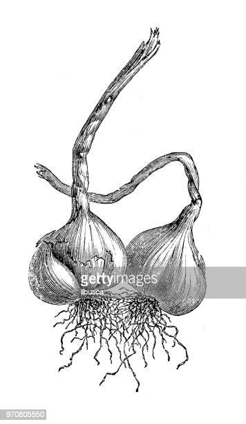 Botany plants antique engraving illustration: Garlic