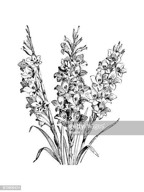植物植物アンティーク彫刻イラスト: グラジオラス gandavensis - グラジオラス点のイラスト素材/クリップアート素材/マンガ素材/アイコン素材