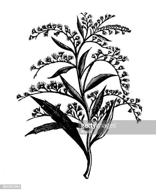botany plants antique engraving illustration: golden rod - rod stock illustrations, clip art, cartoons, & icons