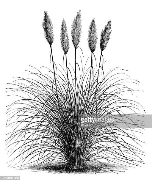 botanik pflanzen antik gravur abbildung: gynerium gnostische, cortaderia selloana pampasgras - pampa stock-grafiken, -clipart, -cartoons und -symbole