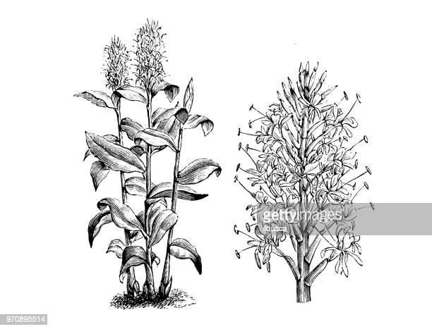植物植物アンティーク彫刻イラスト: カプールカチャリ Gardnerianum、カヒリ ジンジャー、カヒル ガーランド-ユリ、ジンジャー リリー