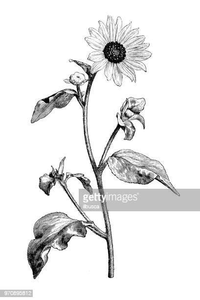 illustrations, cliparts, dessins animés et icônes de plantes de botanique antique illustration de gravure: helianthus argophyllus, silverleaf tournesol - tournesol