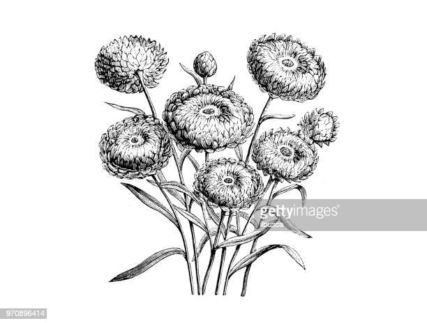 botany plants antique engraving illustration: helichrysum bracteatum compositum, xerochrysum bracteatum compositum, golden everlasting, strawflower - eternity stock illustrations