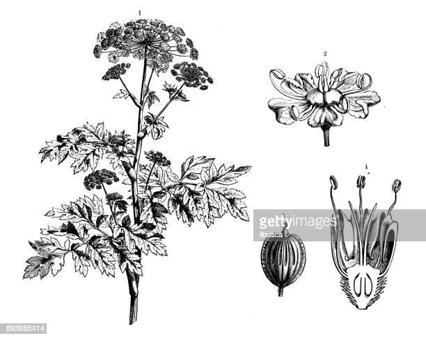 botany plants antique engraving illustration: heracleum sphondylium (hogweed, cow parsnip) - parsnip stock illustrations, clip art, cartoons, & icons
