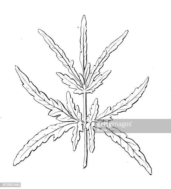 botany plants antique engraving illustration: heracleum sphondylium, hogweed, heracleum setosum, cow parsnip - parsnip stock illustrations, clip art, cartoons, & icons