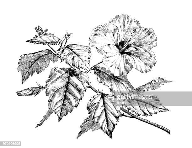 botany plants antique engraving illustration: hibiscus rosa-sinensis, chinese hibiscus, china rose, hawaiian hibiscus, rose mallow, shoeblackplant - portulaca stock illustrations, clip art, cartoons, & icons
