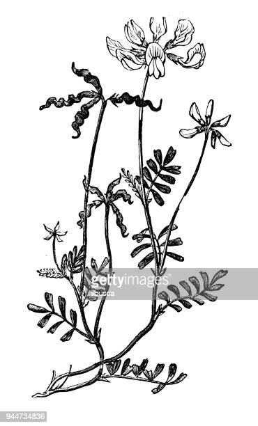 botanik pflanzen antik gravur abbildung: hippocrepis comosa (hufeisen wicke) - hufeisen stock-grafiken, -clipart, -cartoons und -symbole